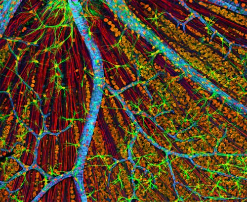 Quadruple fluorescence image of the mouse retina, showing optic nerve axons and glia stained red and green, respectively, actin in endothelial cells of the blood vessel walls stained blue and nucleic acids stained orange.