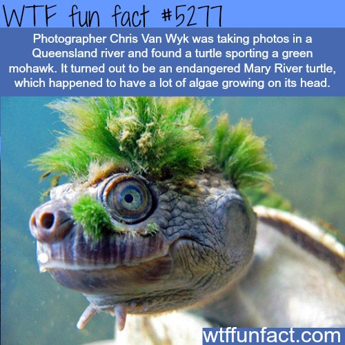 Endangered Mary River turtle - WTF fun facts