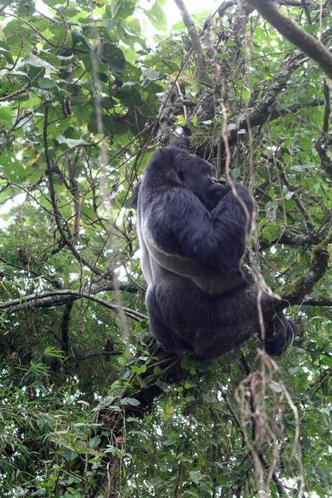 how to use gorilla grain