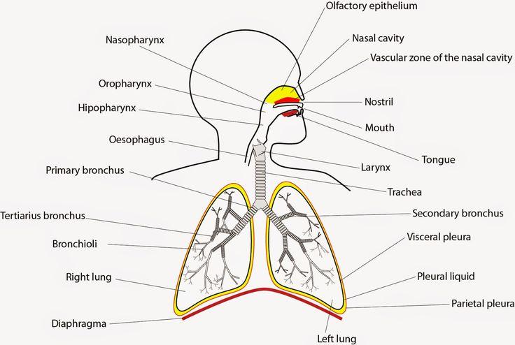 25+ melhores ideias de Imagens do sistema respiratorio no