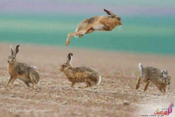 الأرنب البري بحث عن الارنب البري صور وفيديو لصيد الأرنب البري Animals Reindeer Kangaroo