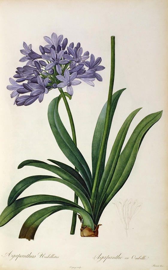 Pierre Joseph Célestin Redouté : Agapanthus umbrellatus, from `Les liliacées', 8 volumes, published in 1805-16