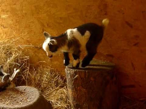 "(CUTE VIDEO) This cute little baby goat, ""Quaver"", was so happy to be dancing and playing. The other goat is her Mother, happily munching in the warm sunshine."