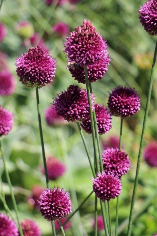 Allium 'Drumsticks'