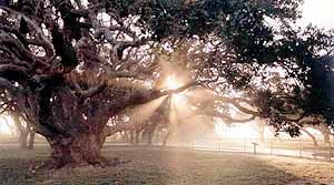 "Goose Island State Park, located north of Rockport Texas, is home to ""Big Tree"", a Southern live oak thought to be over 1000 years old."