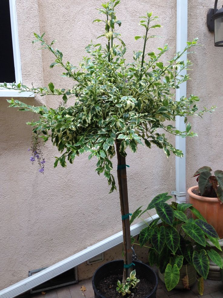 Duranta Variegated Patio Tree Outdoor Plants Patio Trees