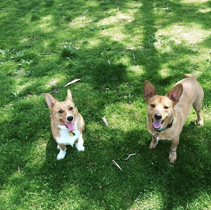 Posing for photos between playtime at Curtis Hall Dog Park - Wyncote, PA - Angus Off-Leash #dogs #puppies #cutedogs #dogparks #wyncote #pennsylvania #angusoffleash