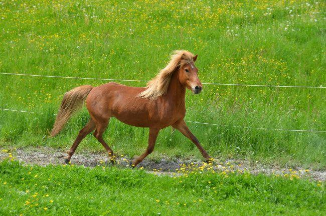 Islandpferde-Verkauf » Embla vom Burrishof – verkauft! - Burrishof Islandpferde- und Fjordpferde-Gestüt