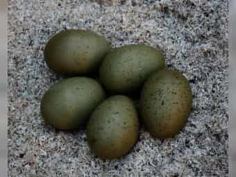 ** Bruteier oliv-khakifarbig **