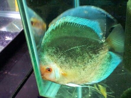 how to save a dying angel fish