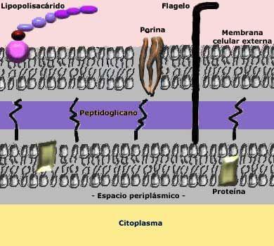 Pared celular bacterias gram negativas