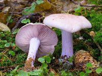 Chutné houby čirůvky. Kde je hledat, jak je poznat? Jak odlišit jedlé a jedovaté?