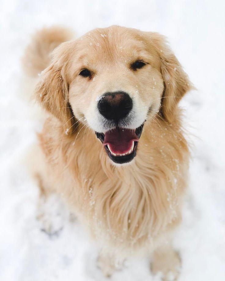 2 Golden Retriever Puppies On Instagram Goldenretriever Dog