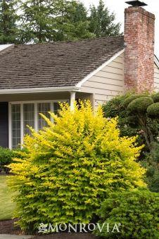Ligustrum sinense 'Sunshine' (Golden Privet) for an evergreen pop of color.