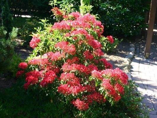 berglorbeer lorbeerrose 39 ostbo red 39 kalmia latifolia. Black Bedroom Furniture Sets. Home Design Ideas