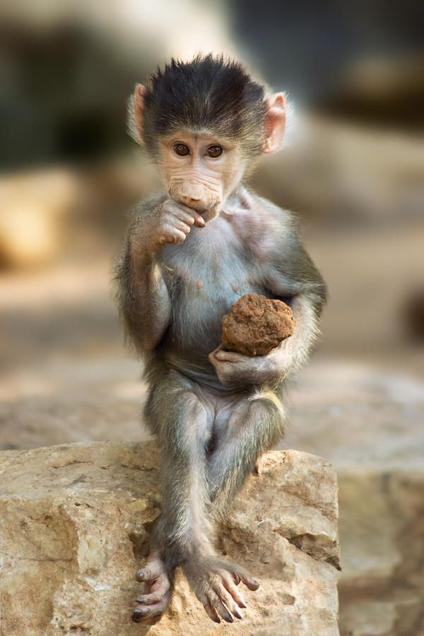 Baboon baby: Just sittin' here with my rock..