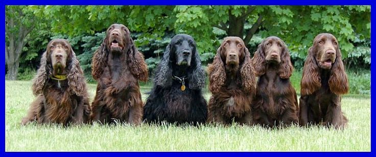 Field Spaniels   As with several other spaniel breeds, the Field Spaniel is utilized in hunting, which takes advantage of its own keen sense of smell and retrieving abilities.