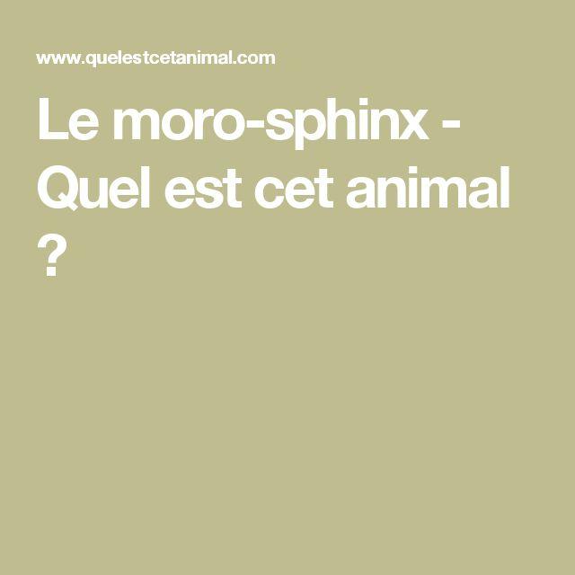Le moro-sphinx - Quel est cet animal ?