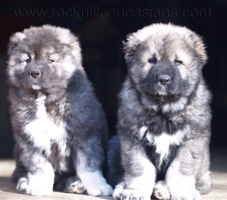 Rockhill Caucasians Breeders of Caucasian Ovcharka also know by the following names: Caucasian Mountain Dog, Caucasian Ovcharka, Caucasian Ovtcharka, Caucasian Owtcharka, Caucasian Shepherd, Caucasian Sheepdog, Kawkasky Owtscharka, Kaukasische Schaferhund, Kavkazsky Ovcak Pastevecky, Owczarek Kaukaski, Pastore Del Caucaso, Nagazi, Gampr, Volkodav, Kavkazskaïa Ovtcharka, Russisk Vokterhund, КАВКАЗСКИЕ ОВЧАРКИ, Owczarków kaukaskich, Sage Ghafghazi, KAVKAZSKÝ PASTEVECKÝ, Kaukasischen…