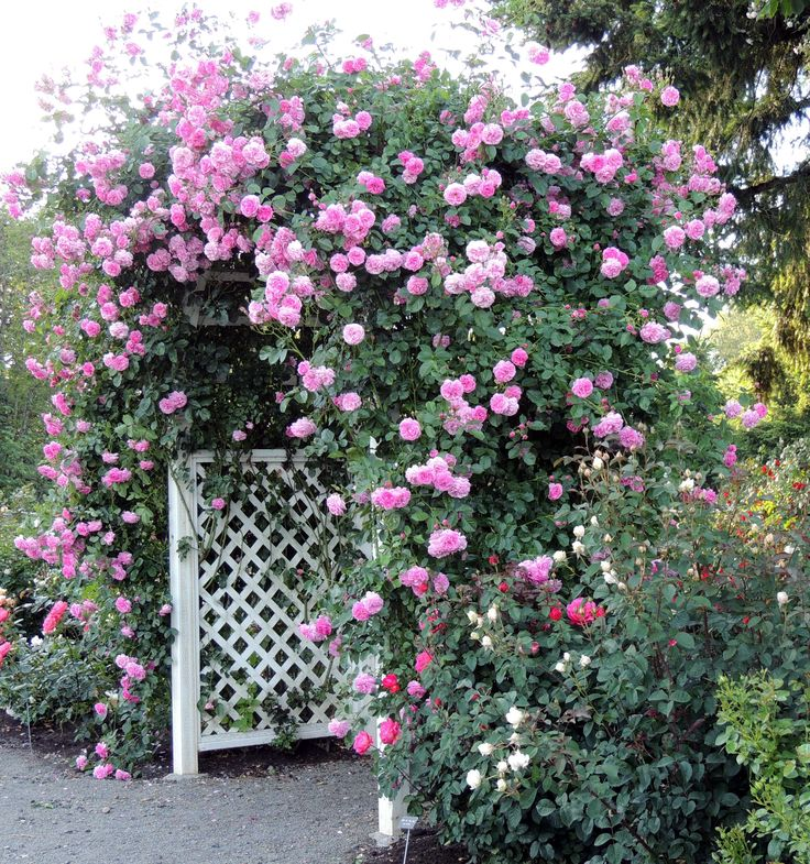Heirloom Roses | Pruning Climbing Roses