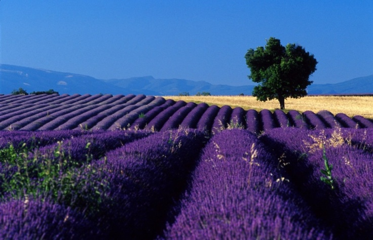 lavender fields and blue sky northern CA