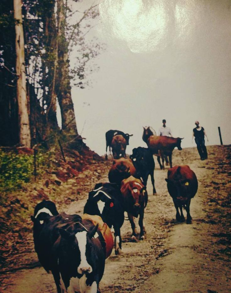 Red Cow Dairies | Our Red cows!