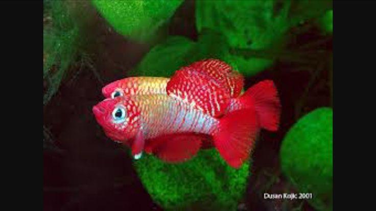 1000+ images about Tropische vissen on Pinterest Malawi cichlids ...
