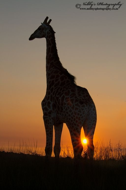 Another silhouette image taken at the same time as the other I took the opportunity with a low level sun of creating a star sunburst between the giraffes legs