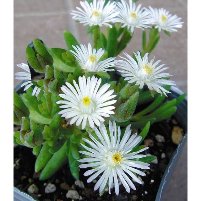 Elegant Winterharte Eisblumen uWheels of Wonder u Farbmix Pflanzen BALDUR Garten