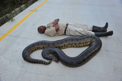 Giant Anaconda Caught | Trinidad Express Newspaper | Photos