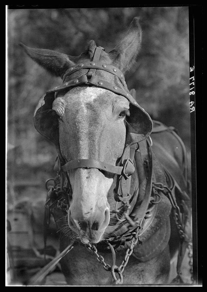 W. EVans. Mule, Hale County, Alabama. 1935.: Hors Ponies Mule Etc, Mule And Donkeys, Alabama 1935 1935, Self Portraits, Alabama 19351935, Photo, Walker Evans, Animal, Off History