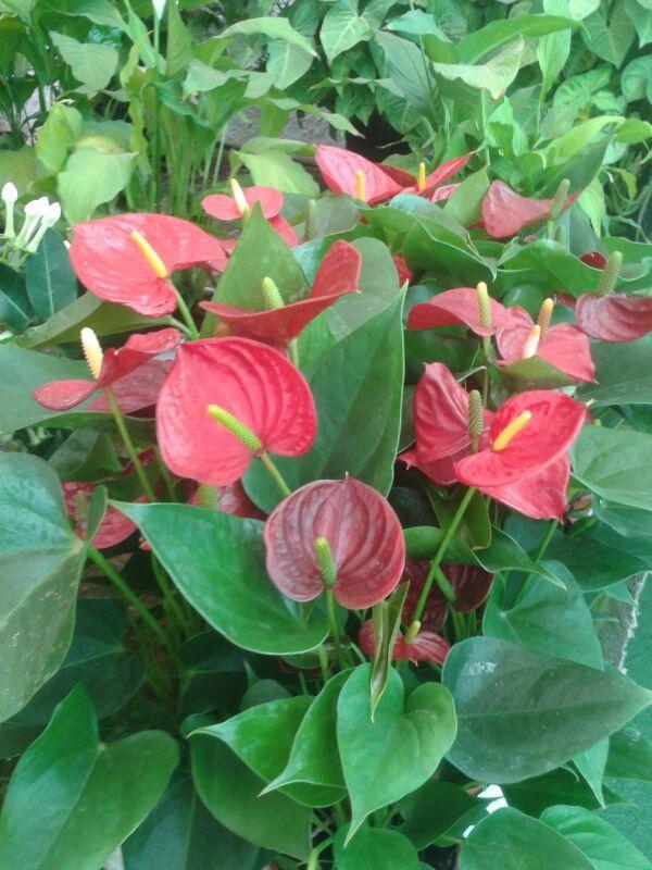 Anthurios. Planta de Interior por excelencia.  Lo que conocemos como Flores, son hojas teñidas en éste caso, de color rojo.  Sus hojas en forma de corazón, verdes y lustrosas son altamente decorativas.  El éspadice o vaina de color amarillo, es el contenedor de una gran cantidad de pequeñas flores, que juntas forman la inflorescencia.  Le gustan los ambientes húmedos y las pulverizaciones frecuentes de todas las partes de la planta.  No se excedan en los riegos.