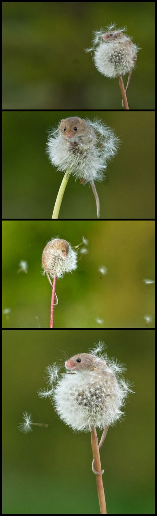 Photographer Matt Binstead captured these stunning photos of a TINY harvest mouse as it clinged to a dandelion blowing in the wind in the British Wildlife Centre in Lingfield.