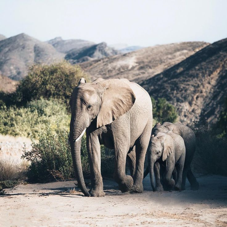 Hannes Becker /  elephants