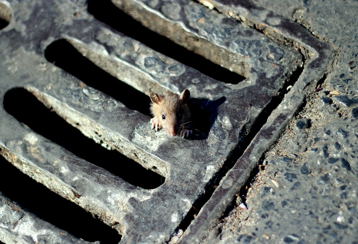 Rat in the sewer