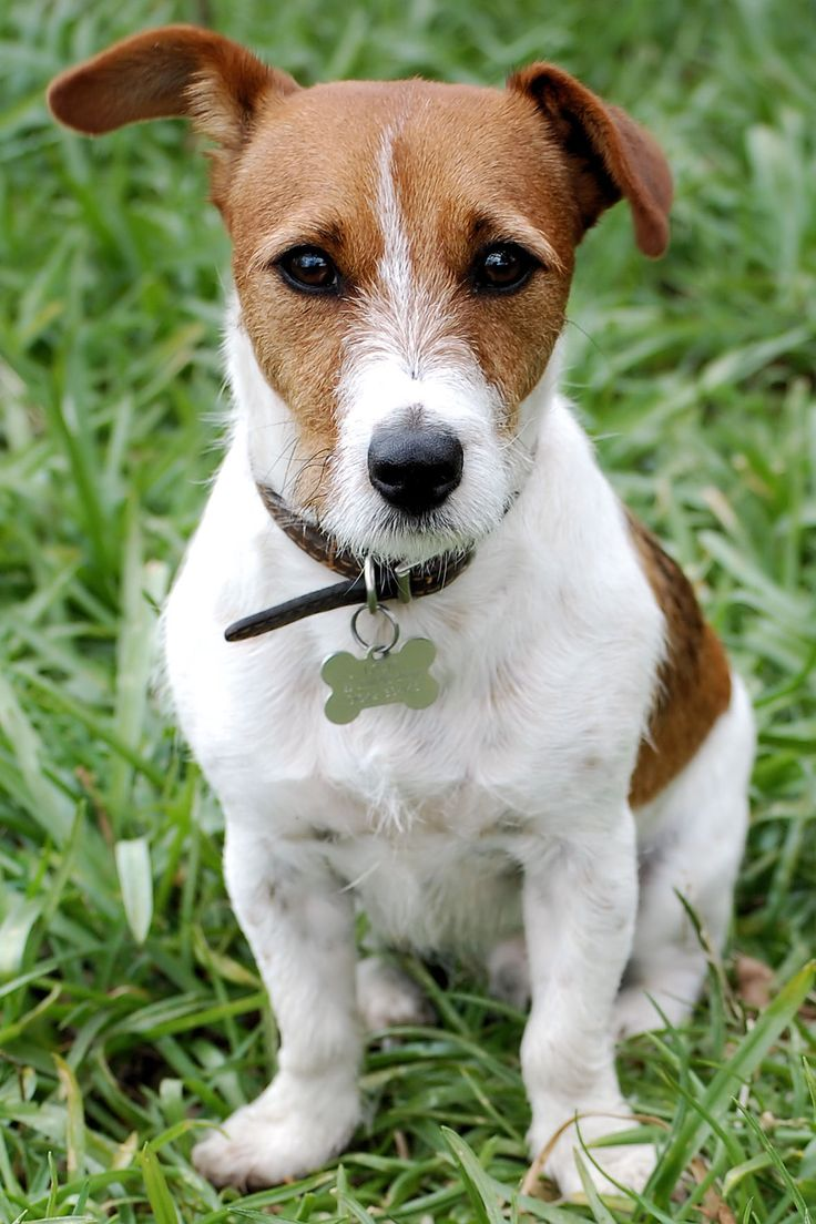 Jack Russell Terrier ..in honor of my dog nephew, Bently, who passed away last week.  He was such a sweetie.