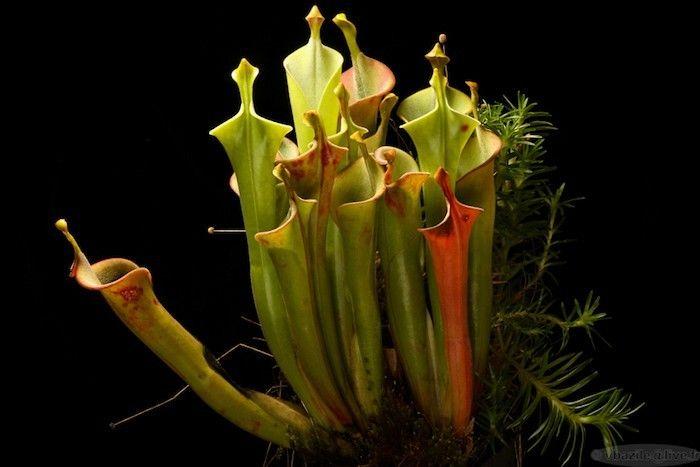 1000 id es sur le th me plantes carnivores sur pinterest - Plante carnivore d interieur ...