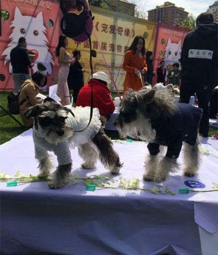 Массовая свадьба... собак в Китае. Один из пекинских парков украсили цветочными арками с ленточками и провели через них 21 пару собачек. Животных, конечно, нарядили в смокинги и свадебные платья.