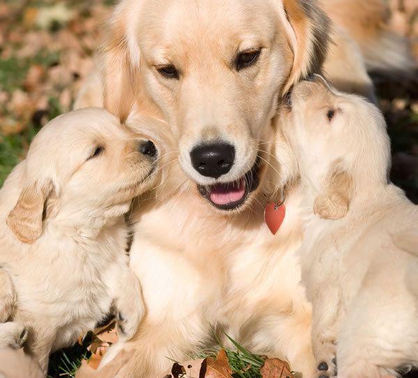 Le golden retriever ou simplement golden est une race de chien d'origine britannique. Sélectionné comme un chien de rapport, le golden retriever est une race très populaire depuis les années 1990. Il s'agit d'un chien de taille moyenne possédant une robe à poil long, de couleur crème à doré foncé.