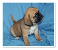 PUGGLE PUPPIES FOR SALE | BREEDER | WA | OR | CA | INFO | POCKET PUGGLES