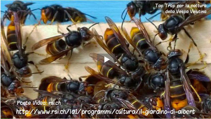 """""""Presente nel Ponente ligure, l'imenottero originario dal sud-est asiatico ha i numeri per riuscire ad invadere gran parte d'Europa al di sotto dei 1000 metri di quota. Uno studio di qualche anno fa, realizzato dal Museo nazionale di storia naturale di Parigi, ha evidenziato come la Svizzera, e in particolare la sua parte a sud delle Alpi, sia favorevole alla sua diffusione."""" http://www.rsi.ch/la1/programmi/cultura/il-giardino-di-abert/"""