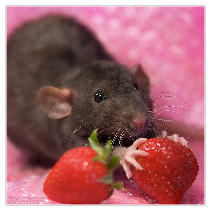 1000+ images about Rat on Pinterest | Nursery art, Pets and ...