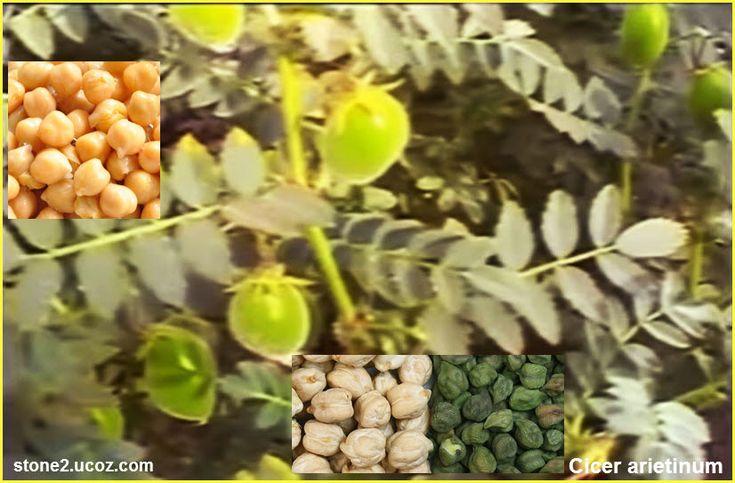 الحمص الشائع معلومات واستخادم Cicer Arietinum الخضروات النبات معلومان عامه معلوماتية Fruit Grapes Food