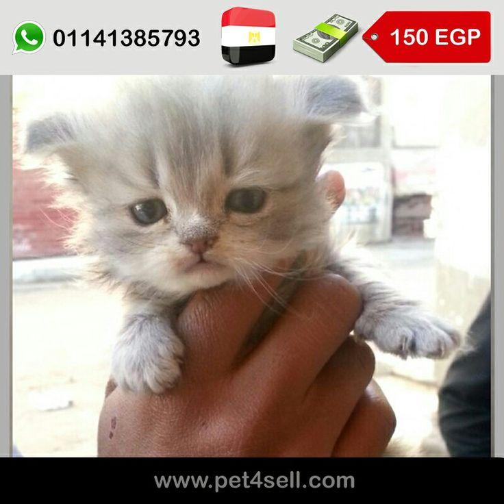مصر القاهرة قطة شيرازى للبيع 45 يوم مطلوب 150 جنيه و الشنطة هديه Pet4sell Cats Animals