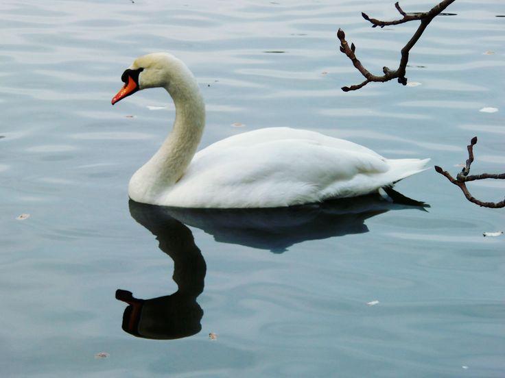 Swan Oliwia