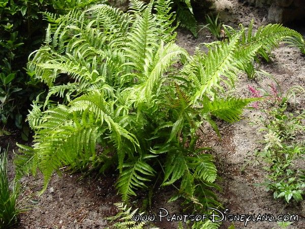 Common Name: Evergreen Wood Fern Scientific name: Dryopteris intermedia  Pronunciation: dry-OP-ter-iss in-ter-MEE-dee-uh Family: Dryopteridaceae Foliage: Evergreen