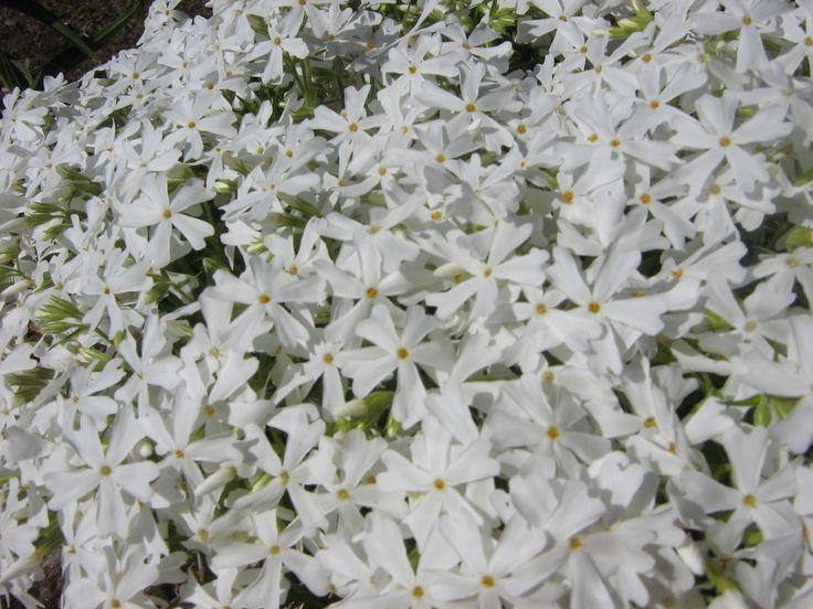 Phlox Rampant Subulata White Delight