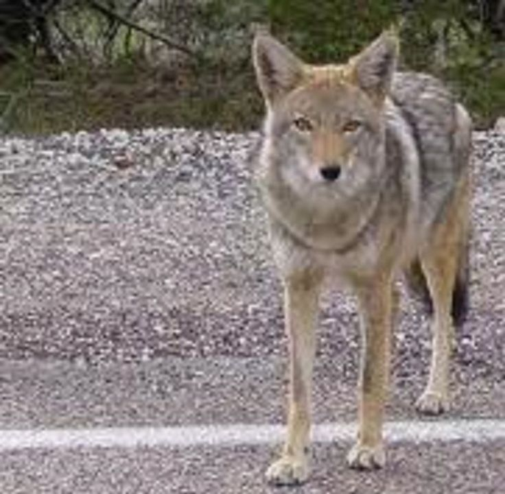 Coyote Photo by Erin Nelson National Geographic Your
