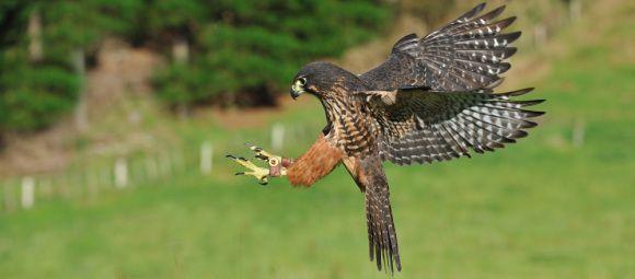 New Zealand falcon/kārearea. Photo: Wingspan National Bird of Prey Centre.