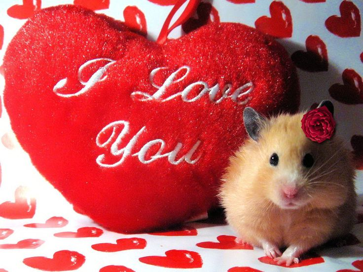 Cute Hamster With I Love You Heart Wallpapers – Hamster Valentine Cards